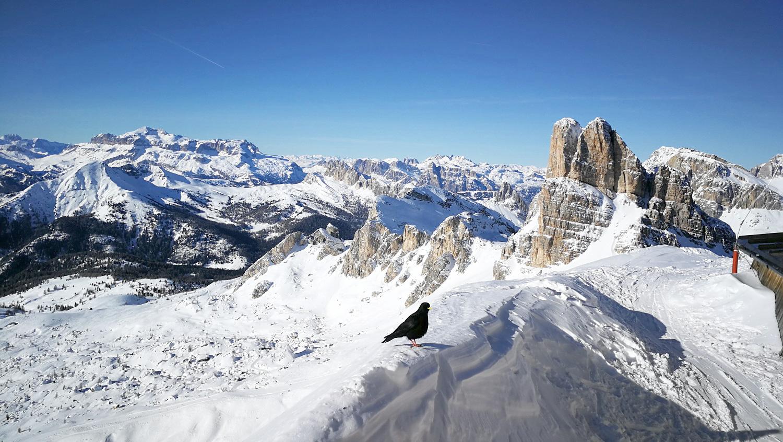 Alpesi csóka, az Averauval a háttérben