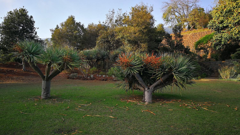 Sárkányfa (Dracaena draco), mely tüskés leveleiről és a kéregből kiserkenő élénkvörös nedvről kapta a nevét