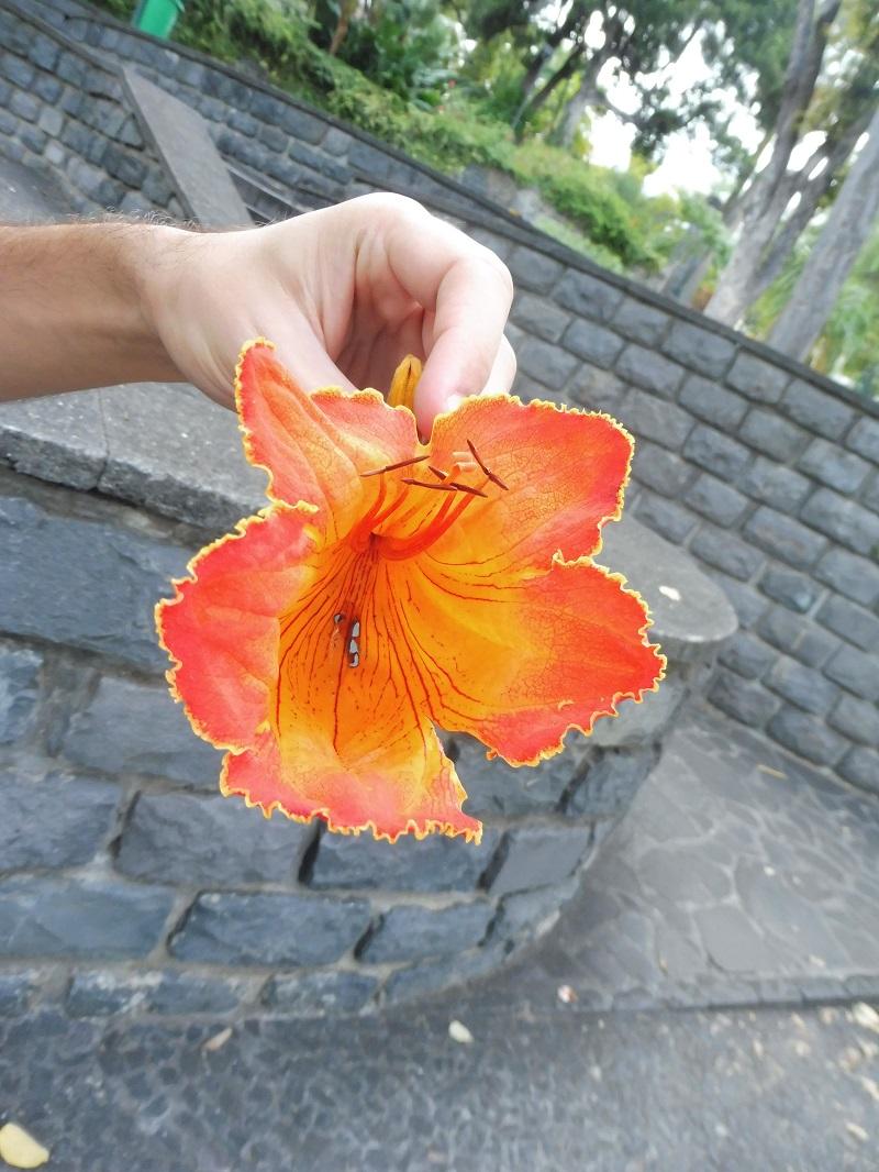 Az afrikai tulipánfa tűzpiros virága