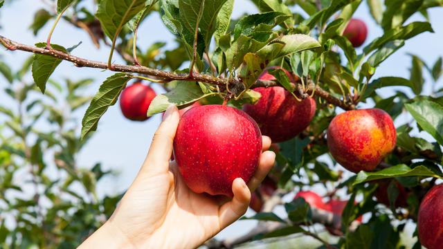 Minden nap egy alma… Távol tartja az orvost?