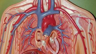 Hogyan jut el a vér testünk minden pontjára? Hárítsd el az akadályokat!