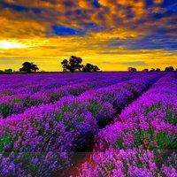 Provence levendulavirágzáskor
