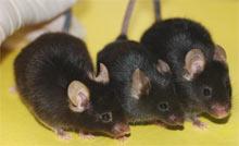 Egészségesebbek a borozgató egerek