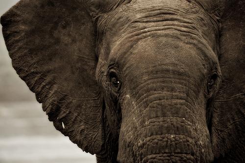 Beteg elefánt