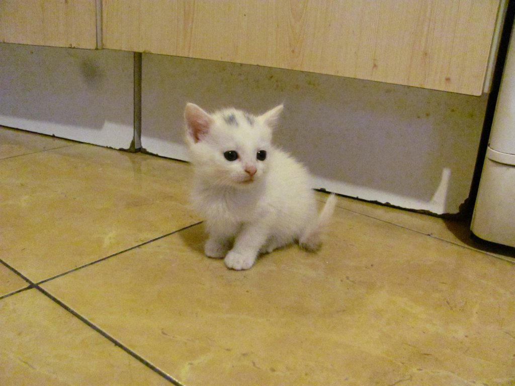 Szarvas-cica