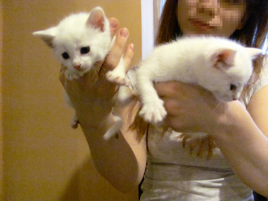 Két fehér cica