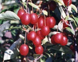 Elaeagnus_multiflora 2.jpg