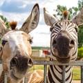 Megnéztük : Szafari Szadán