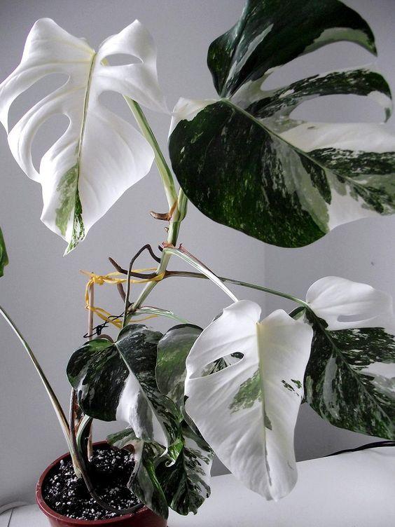 albino_filodendron_green-24_de.jpg