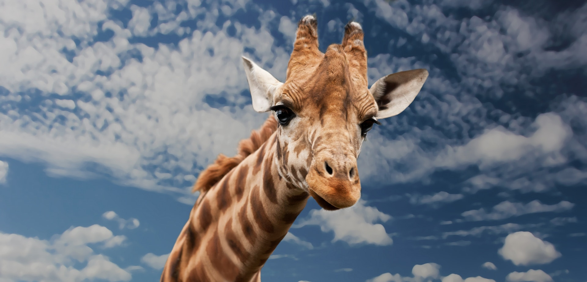 giraffe-animal-funny-facial-expression-39504.jpeg