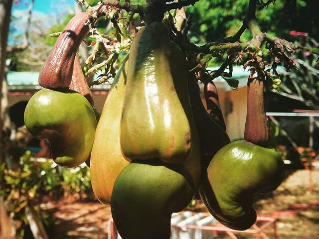 Huha, mi ez a gyümölcs??? OMG what is this fruit??? #mertutaznijo #costarica #fruit #tree #cashew #nut #