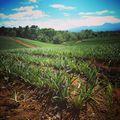 Tudod, mi ez a növény? Do you know what is this plant? #mertutaznijo #eupolisz #costarica #centralamerica #plantation #fruit #travelling #travelphotography @reni.atesz @eupolisz