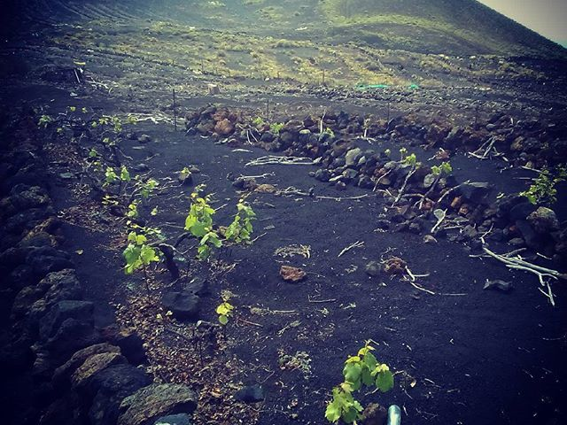 Fekete vulkáni hamuban terem a jó malvázia. La Palmán a szőlőtőkék gaznak tűnnek ipari salakban, viszont a bor a tokaji aszúval vetekszik. On La Palma grapevines in black volcanic ash producing the famous wine malvasia. #mertutaznijo @reni.atesz #eupolisz #canarias #travel #travelphotography #lapalma #wine #grape