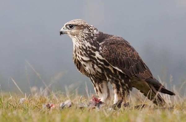 Saker falcon (Falco cherrug) -.jpg