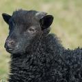 A kis fekete bárány, aki fehér akart lenni