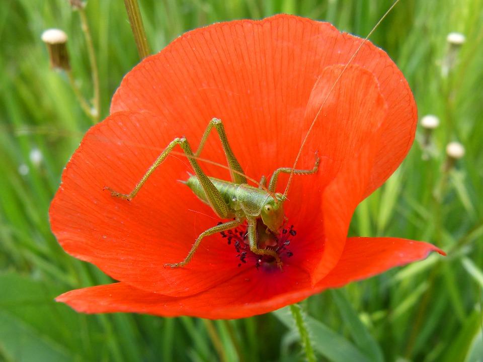 green-grasshopper-2253977_960_720.jpg