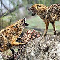 876. Farkasok, aranysakálok, semjének