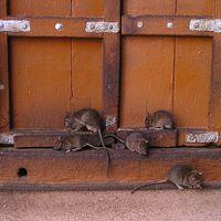 828. Patkányirtók (1)