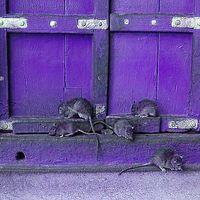 830. Patkányirtók (2)