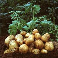 Génmódosított burgonya termesztését engedélyezte az EU