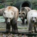 A barna- és jegesmedve keresztezése