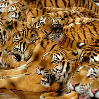 2010: A Tigris Éve