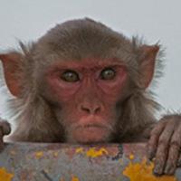 Elvont fogalmakat is használnak a majmok tájékozódásra