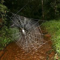 Felfedezték a világ legnagyobb, legerősebb pókhálóját