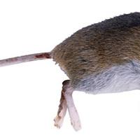 Ezért olyan feledékenyek a kialvatlan egerek
