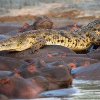 A nap képe: krokodil VS vízilócsorda