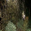 Egy új keresztespók a világ legnagyobb hálószövője
