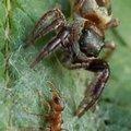 A vegetáriánus pók akáciákra vadászik