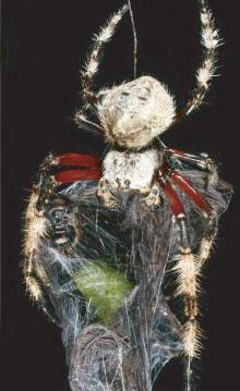 a darwin kéregpók - Caerostris darwini