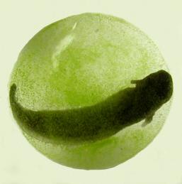 zöld gőteembrió