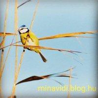 Madaras hetünk keddi kedvence egy igazi tollas terminátor: a #cinege #balatoni_fotók