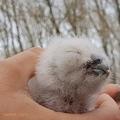 Cukiság kimaxolva: kikeltek a macskabagolyfiókák Szántódpusztán
