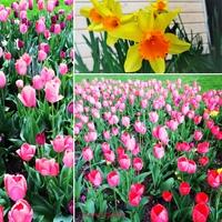 Virágözön a hétvégén - tulipánszüret Kőröshegyen, nárciszfesztivál Kaposváron!