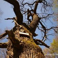 Zarándokok fája - tölgyóriás Siófok közelében
