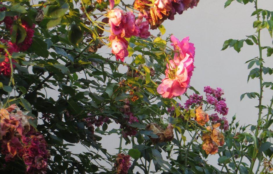 rózsák foto forgach.jpg