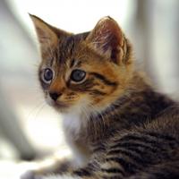 Új injekcióval a macskaszőr-allergia ellen