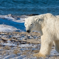 A jegesmedvék segíthetik az elhízás elleni küzdelmet?