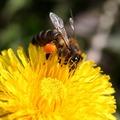 Méhek napja. Miért fontosak számunkra ezek a rovarok?