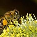 Ma van a Méhek világnapja (május 20)