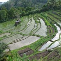 A rizs