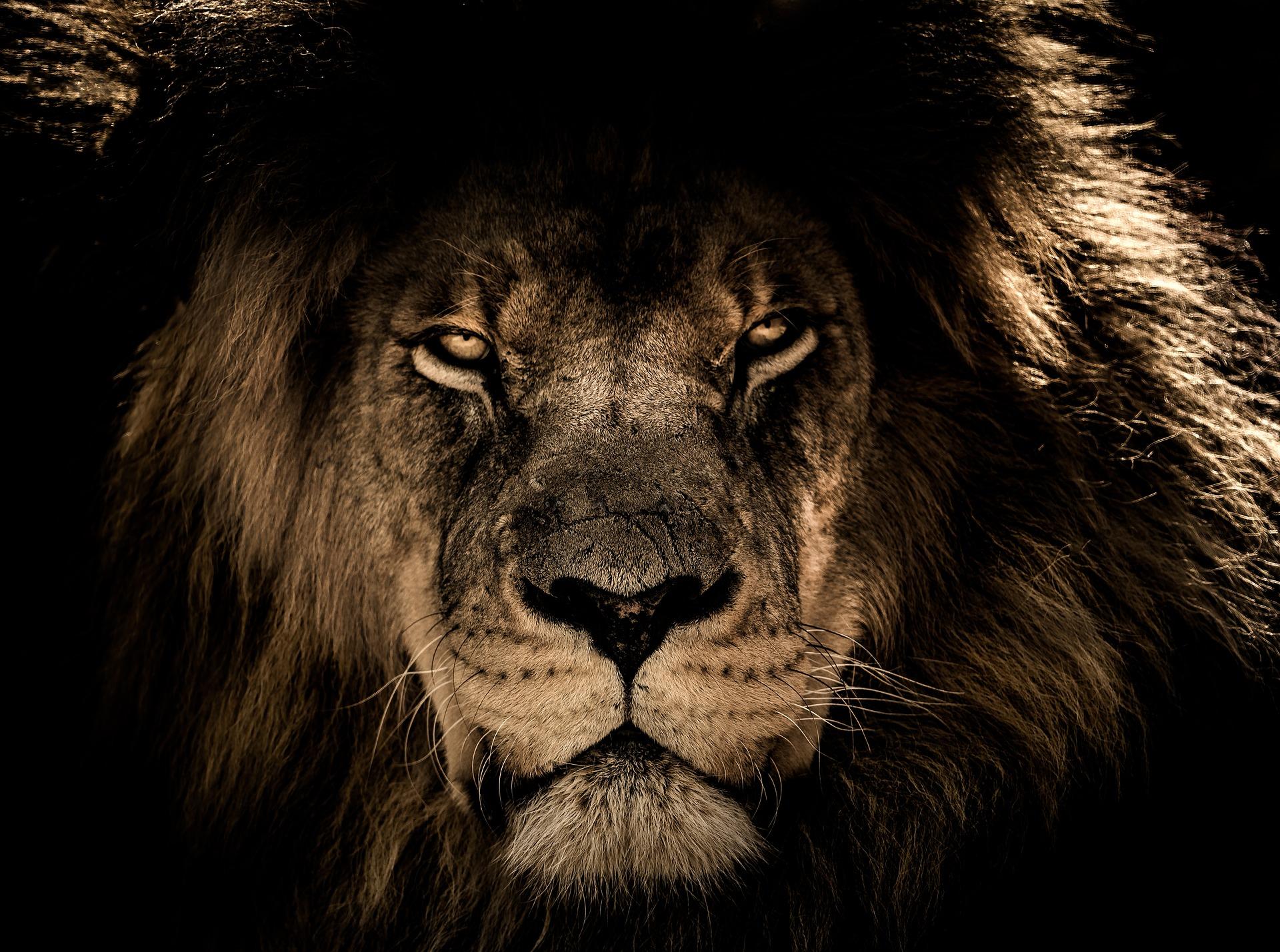 african-lion-2888519_1920.jpg