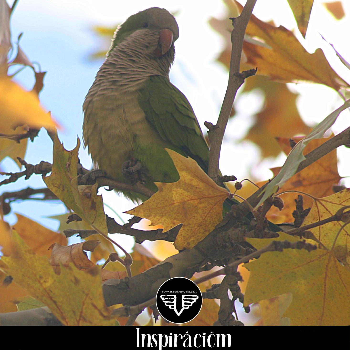 Ez a madár is Madridban került lencsevégre, mint az előző, amikor decemberben ott voltunk társasággal. Sokan szálltak le és repültek fel a képen látható fáról.