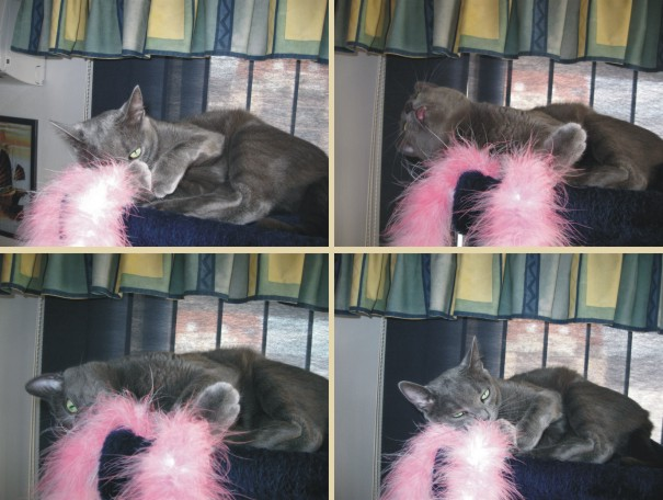Missy playing with feathery toy