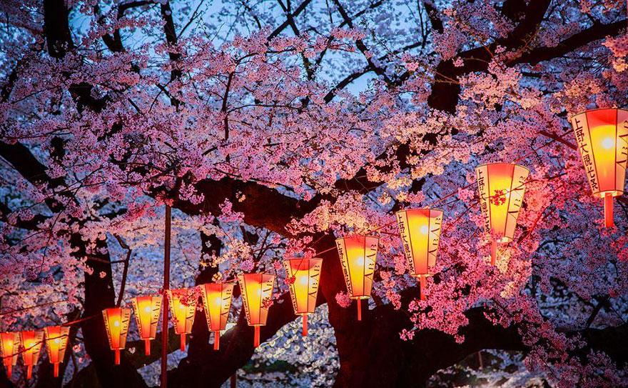 Sakura: képek a japán cseresznyefa-virágzásról