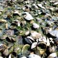 Kagylós part