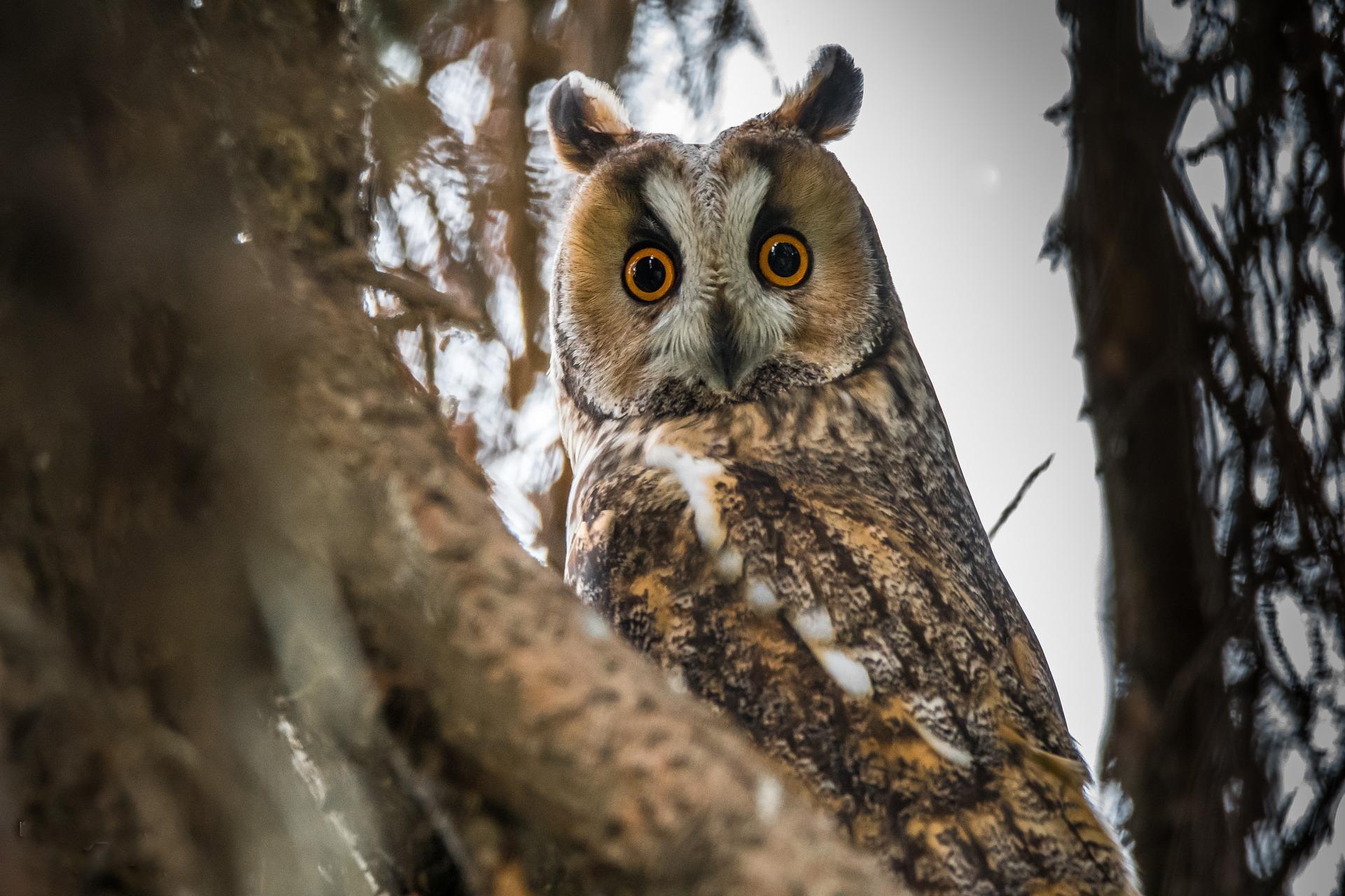 erdei_fulesbagoly_owl-3321411_1920.jpg